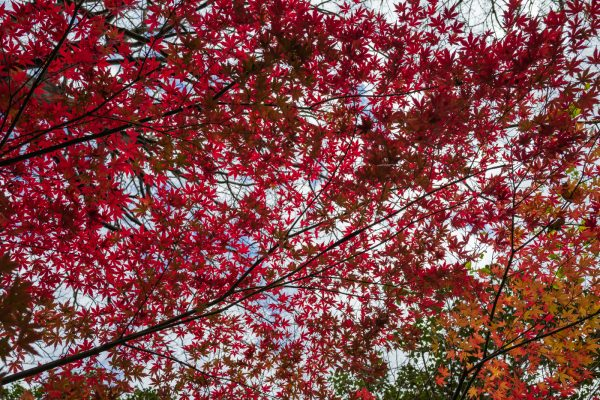Small red tree leaves